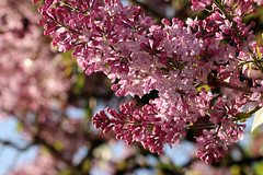 Flieder (gripspix) Tags: 20180429 spring frühling archiv plant pflanze bloom blüte flieder syringasp lilac purple lila