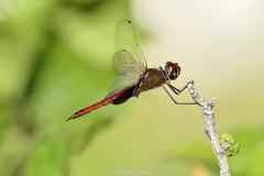 Caribbean Dragon (Ralph J Clark) Tags: dragonfly stlucia nikon200500mmf56