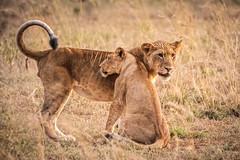 Big brother hugging his sister... (Manon van der Lit) Tags: africa afrika oeganda uganda lion lioness brother sister wildlife safari gamedrive savanna murchison national park
