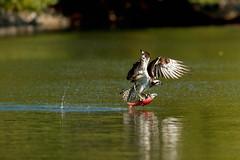One Kokanee Down (Beve Brown-Clark) Tags: salmon kokaneesalmon osprey birdofprey ©bevebrownclark
