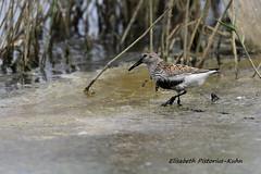 4J7A3533 Bécasseau variable (Puce55-Elisabeth,) Tags: bécasseau oiseau birds animal nature wildlife