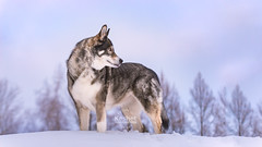 Picture of the Day (Keshet Kennels & Rescue) Tags: adoption dog ottawa ontario canada keshet large breed dogs animal animals pet pets field nature photography winter snow husky siberian soft light hill treeline pose regal stand