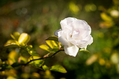 passionflower (aleporcu91) Tags: flowers fiori nature details