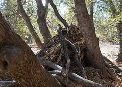 Construction Zone (San Bernardino Nat'l Forest) Tags: woodlandtrail naturetrail bigbear hikingtrail woodrat