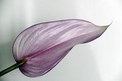 Only one petal (Tery14) Tags: anthurium violet petal flower onesinglepetal