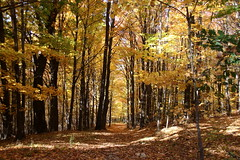 Fall Path (Diane Marshman) Tags: fall foliage woods rural setting trees orange yellow forest path road leaves leaf covered ground