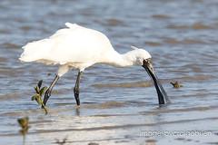 Royal Spoonbill (imagesbycraigobrien) Tags: birds birding birdphotography canon canon7dmkii tamron150600mmg2wildlife wild photography nature spoonbill shorebirds