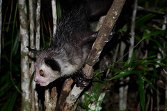 Aye-Aye (Daubentonia madagascariensis) (Susan Roehl) Tags: madagascar2017 islandofmadagascar offtheeastcoastofafrica palmariumreserve ayeaye nocturnallemur daubentoniamadagascariensis wildanimal mammal omnivore strepsirrhineprimate genusdaubentonia familydaubentoniidae rodentliketeeth specialthinmiddlefinger largestnocturnalprimate fillsnicheofawoodpecker percussiveforaging consideredevilfolkbelief iucnendangered basedonsuperstition arboreal solitary sphericalnests sueroehl photographictours naturalexposures panasonic lumixdmcgh4 35x100mmlens handheld photographedatnight highlycropped wood forest tree ngc coth5