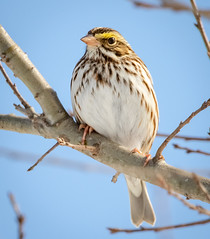Savannah Sparrow (tresed47) Tags: 2019 201901jan 20190114marylandbirdsbb birds blackwaternwr canon7dmkii content folder january maryland peterscamera petersphotos places season takenby us winter