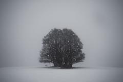 Soft as snow (PaxaMik) Tags: snow neige tree winter winterlandscape wintertree soft zen silence blackandwhitephotos white blanc blancheur plateauderetord france grey gris softassnow