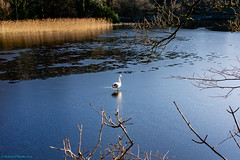 walking on ice (Rourkeor) Tags: 35mm 35mmzeisssonnartlens ayrshire carlzeiss culzeancastle cygnet maybole rx1r scotland sony uk frozen fullframe ice pond swan sonyflickraward