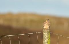 Female Kestrel (Guido de Kleijn) Tags: kestrel commonkestrel solleveld guidodekleijn nikond500 nikon200500f56 monster denhaag duinen dunes dunea birds birding falcotinnunculus