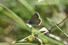Lycaenidae (esta_ahi) Tags: pantàdefoix mariposa papallona butterfly lycaenidae lepidoptera insectos fauna castelletilagornal penedès barcelona spain españa испания