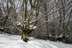 Pagoa (Paulo Etxeberria) Tags: albertia larragoien manzanilla legutio pagoa haya europeanbeech hêtre fagussylvatica elurra nieve snow neige