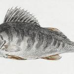 Fish by Jean Bernard (1775-1883). Original from The Rijksmuseum. Digitally enhanced by rawpixel. thumbnail