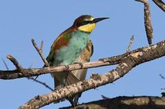 European Bee-eater  (Merops apiaster) (Ian N. White) Tags: europeanbeeeater meropsapiaster gaborone botswana