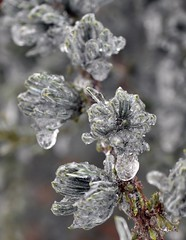 Evergreen (nrg_crisis) Tags: winter ice macro frozen icestorm conifer evergreen shenandoahvalley depthoffield