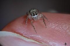 Little visitor (SuzieAndJim) Tags: spider jumping tiny naturephotography nature cute suzieandjim