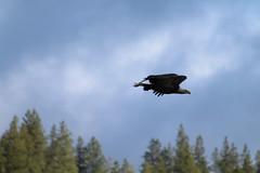 IMG_4843 (Jayebug) Tags: bald eagle baldeagle eagles raptor raptors idaho coeurdalene cda id wolflodge december 2018 wildlife birds sky wild