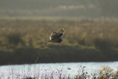 Short Eared Owl (Cheryl's Wildlife) Tags: wildlife nature suffolk rspb birds 20182019 birdwatching nikon sigma photography east eastanglia naturereserve wildlifetrust thefens nationaltrust