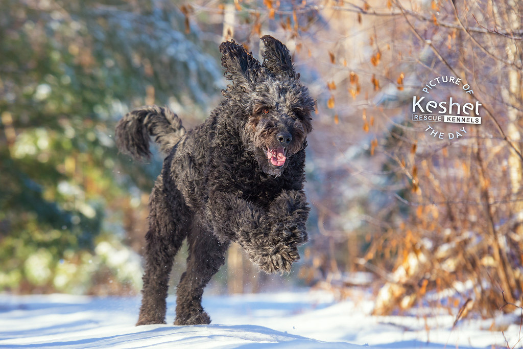 The Worlds Newest Photos Of Dogs And Goldendoodle Flickr
