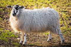 A Sheep (Jez22) Tags: sheep field pasture contrejour bright wool animal farm woolly fleece kent england copyright jeremysage specklefaced beulah cute lamb mutton looking rural outdoor livestock nature