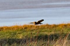DSC_5066 seo (m.c.g.owen) Tags: asio flammeus short eared owl aust warth severn estuary south gloucestershire england birds january 8th 2019