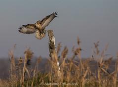 Arrivo della poiana (Massimo Tiga Pellicciardi) Tags: parco delta del po unesco valli di comacchio valle mezzano poiana rapace volo ali volare diurno rapaci