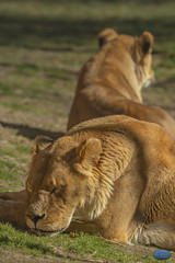 Double Lioness Sleeping (TheArtOfPhotographyByLouisRuth) Tags: lion zoo cat lioness animals wildlife artofimages specialistnaturewildlifephotographers artwithyourheart animalplanet zooboise