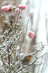 robin & roses (photos4dreams) Tags: photos4dreams photos4dreamz p4d vogelhaus vogel bird birdy meise birdhome mysecretgarden vögel snow schnee esschneit snowing robin rotkehlchen winter