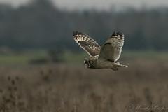 Short Eared Owl-1251 (WendyCoops224) Tags: 100400mml 80d fens canon eos ©wendycooper short eared owl asio flammeus