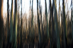 """wetlands vertical shake (""""One who sits by the fire"""") Tags: forest wetlands trees baldcypresstrees icm intentionalcameramovement shake shakephotography blur blurphotography hiking hikingthroughthewetlands williambclarkenaturepreserve rossville tennessee"""