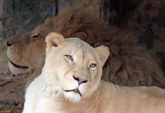 african white lion Ouwehands 094A1236 (j.a.kok) Tags: whitelion witteleeuw leeuw lion africa afrika afrikaanseleeuw africanlion afrikaansewitteleeuw africanwhitelion animal mammal zoogdier dier predator ouwehands ouwehandsdierenpark ouwehand pantheraleoleo timbavati