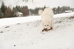 Mogli, der Motivationskünstler (balu51) Tags: winterspaziergang winter schnee nassschnee hund kuvasz ungarischerhirtenhund weiss spielen ast freude spass dog playing enjoying fun fetching snow winterlandscape graubünden surselva dezember 2018 copyrightbybalu51