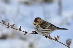 Common Redpoll (f) (hd.niel) Tags: commonredpoll female birds migration arctictundrabirds nature wildlife photography ontario winter uncommon