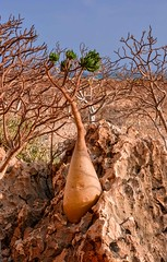 Bottle Tree (Rod Waddington) Tags: middle east yemen yemeni socotra island bottle tree trees adenium obesum caudiciform nature rock water indian ocean landscape