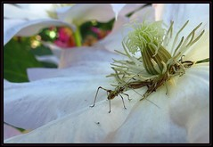 IMG_6632 Eyes on the Prize Fight 6-22-17 (arkansas traveler) Tags: katydidnymph bichos bugs insects flowers clematis macros macrolicious bokeh bokehlicious nature naturewatcher natureartphotography