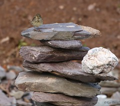 Just stay there and do not move !! (ronalddavey80) Tags: rocks bird rock pipit beach canon eos70d
