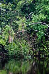 Rio Marié (Johnny Photofucker) Tags: sãogabrieldacachoeira am amazonas amazon amazônia brasil brazil brasile rio riomarié marié rainforest floresta forest foresta jungle giungla selva palmeira palm palma vegetação tree albero árvore 100400mm