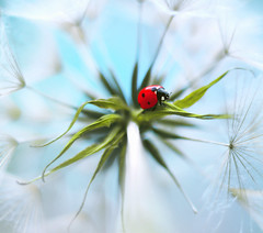 Tragopogon pratensis (Meadow salsify) (ElenAndreeva) Tags: flower ladybug macro nature insect bug spring sun summer light amazing best top sweet cute bokeh focus beauty colors colorful composition garden blue soft magic flowers flora red natural forest