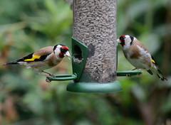 FVA_1150z (atone13) Tags: woodland wildlife birds goldfinches garden nikon d7100 nikkor 80400mm f4556 vr ed british nature fauna