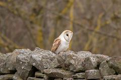 Barn Owl (Jenny Louise Ellis) Tags: barn owl swaledale gunnerside north yorkshire dales national park uk england bird