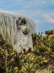 My Little Pony (daisyglade) Tags: newforest miniatureshetlandpony camouflage gorse march eyelash hampshire