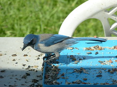 blue jay 3 17 19 scrub jay or blue jay? (safoocat) Tags: fz150 scrubjay