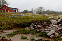 Huge puddles are formed on a rainy day at HEMI Blueberry Farm.