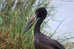 African Openbill Stork (leendert3) Tags: leonmolenaar southafrica krugernationalpark wildlife nature birds africanopenbillstork ngc