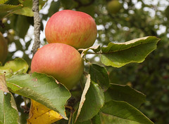 2018_09_0800 (petermit2) Tags: appletree apple apples orchard tree walledgarden clumberpark clumber nottinghamshire nationaltrust nt