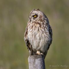 Short-eared Owl (Turk Images) Tags: asioflammeus shortearedowl alberta birds hanna owls seow strigidae prairie spring