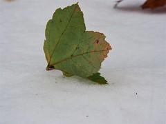 Still standing (karsheg) Tags: autumn fallfoliage fall leaves leaf nature outdoors seasons newjersey