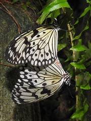 Rice Paper Butterflies, Idea leuconoe (2) (Herman Giethoorn) Tags: ricepaperbutterflies insects butterfly